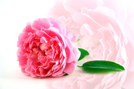 mothering: A beautiful pink rose for Mothers Day, echoed softly in the background
