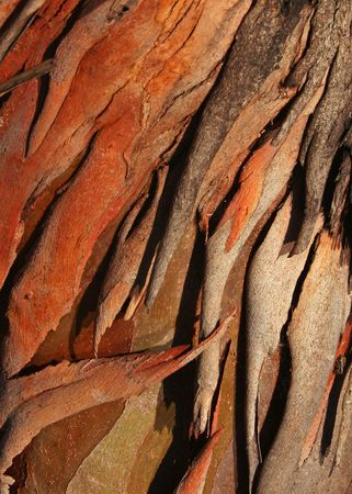 Textured eucalyptus tree bark suitable for background image
