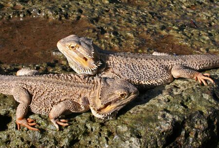 Male and Female Bearded Dragons Stock Photo - 3176657