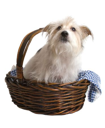 Jack RussellMaltese Terrier cross sitting in a basket isolated over white background Stock Photo
