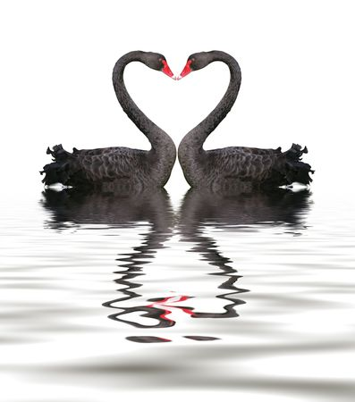 Two romantic black swans creating heart shape with necks. photo