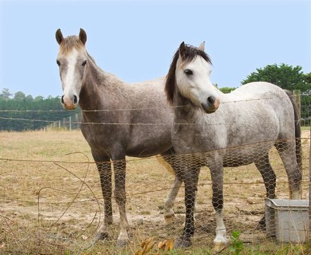 Two grey ponies standing behind old barbed wire fence photo