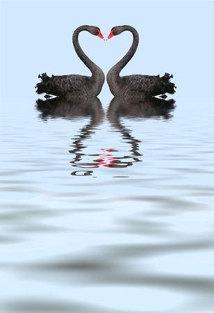 Due cigni neri creando romantico cuore forma con il collo.