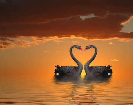 Two romantic swans at sunset with water reflection