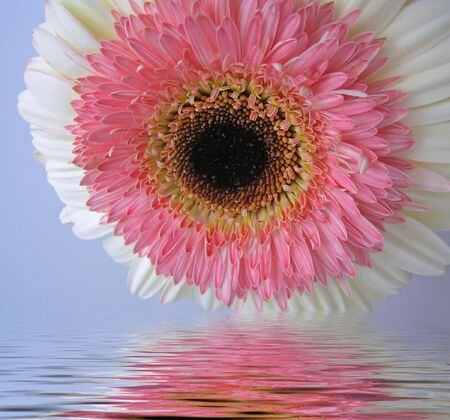 Pink and Cream Double Gerbera with soft reflection in water        photo