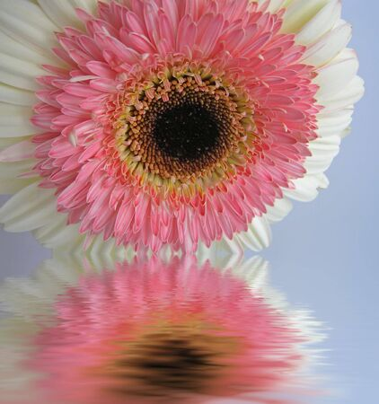 Beautiful pink and cream double Gerbera with soft water reflection.       photo
