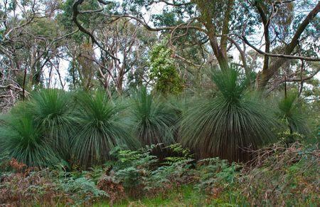 Australian Grass Tree, Botanical Name Xanthorrhoea