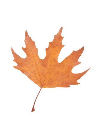 Autumn leaf isolated over white background. Stock Photo