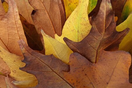 Close up image of Autumn leaves during the fall season. Stock Photo