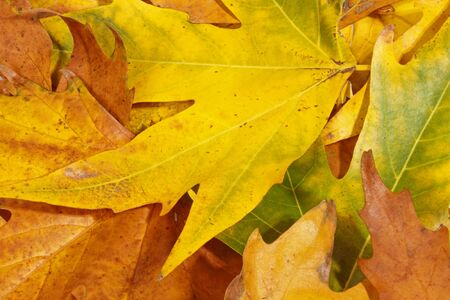 Close up of Autumn leaves during the Fall season