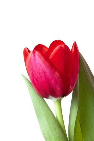 crimson colour: A single red tulip bloom isolated over white background. Stock Photo