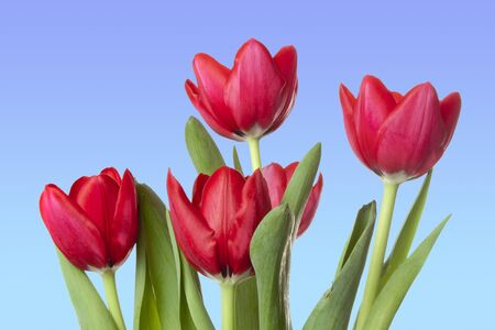 Beautiful red tulips with clear blue sky in background
