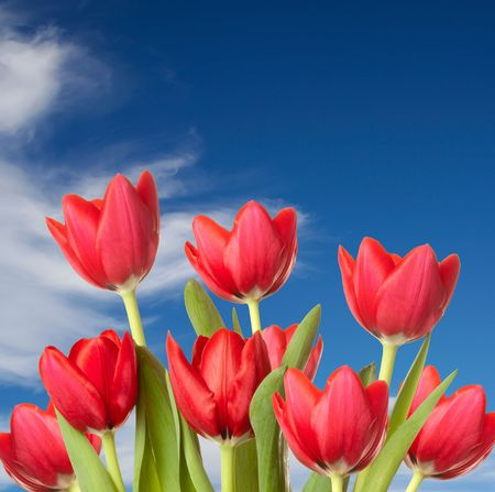 Beautiful red tulip blooms standing tall against a blue sky with wispy white clouds.