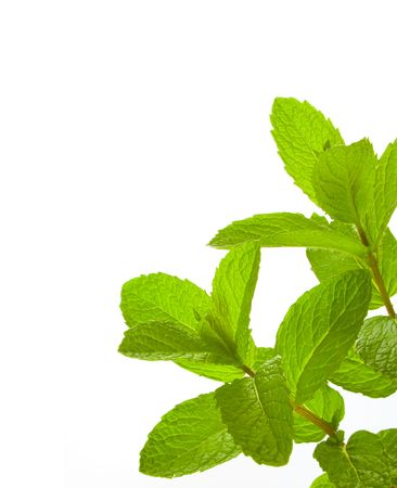 Close up image of Common Mint over white background.