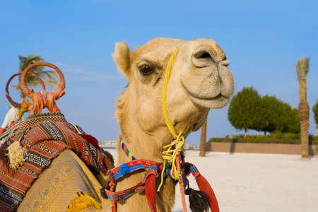 united arab emirate: camel Stock Photo