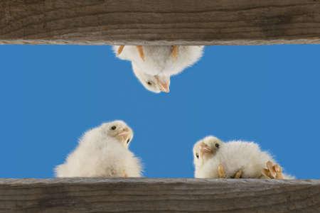 husbandry: little chicks
