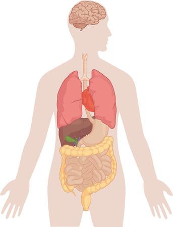 organi interni: Anatomia del corpo umano - Cervello, polmoni, cuore, fegato, intestino Vettoriali