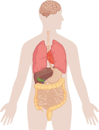 Human Body Anatomy - Brain, Lungs, Heart, Liver, Intestines Illustration