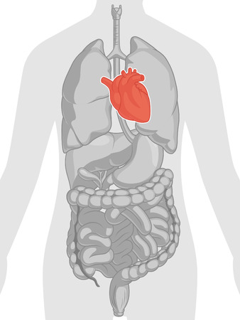 Human Body Anatomy - Heart Vector