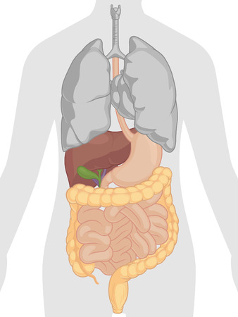 higado humano: Anatomía del cuerpo humano - Sistema Digestivo
