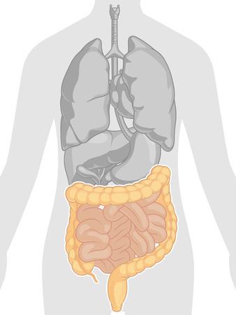 intestino grueso: Anatomía del cuerpo humano - Intestinos