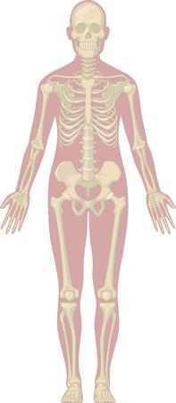 huesos humanos: Anatomía del cuerpo humano - Esqueleto Vectores