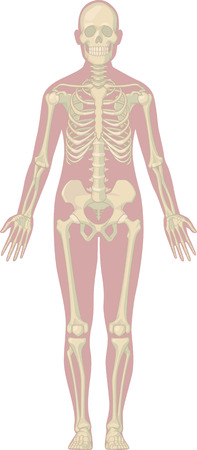 bone anatomy: Human Body Anatomy - Skeleton