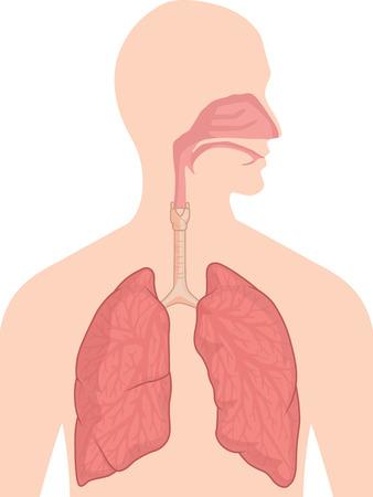 bouche homme: Anatomie du corps humain - Syst�me respiratoire Illustration