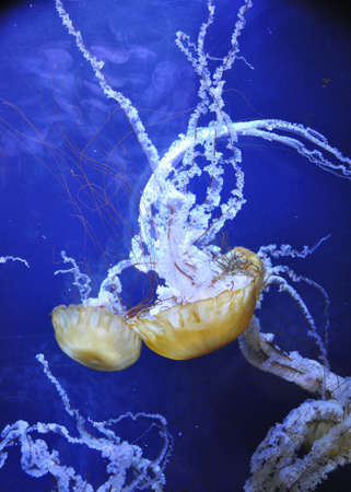Giant Jellyfish in deep blue waters photo