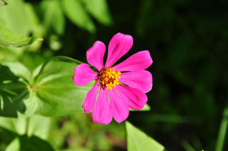 a vibrant pink zinnia in the summer Stock Photo