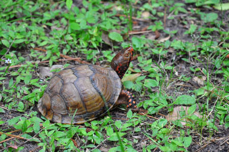 snappy: Three-Toed Box Turtle running away Stock Photo