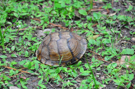 Three-Toed Box Turtle hiding in the shell Stock Photo
