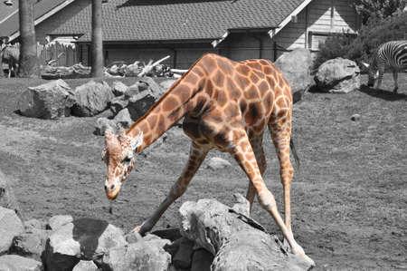 Giraffe on black and white bakground