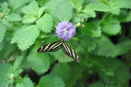 zebra butterfly on purple flower Imagens
