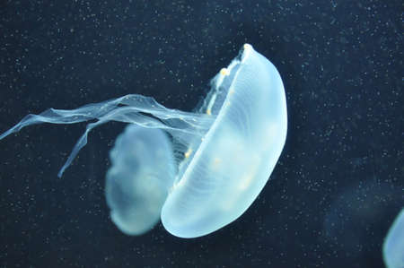 Jellyfish in dark waters