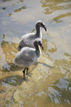 A pair of baby flamingos in the water