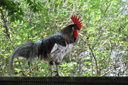 A single rooster sitting on a fence Stock Photo