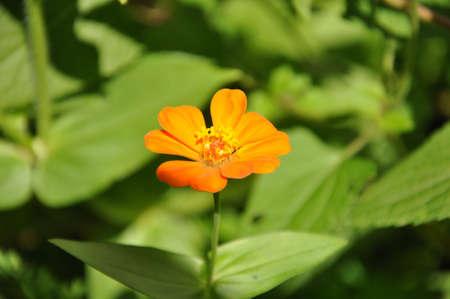 Closeup of an orange Zinnia flower in the sunlight