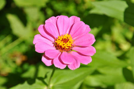 A single pink Zinnia bloom in the sunlight Stock Photo
