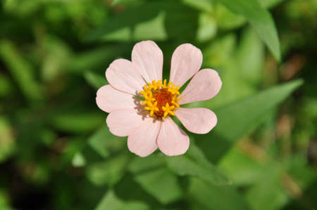 A closeup of a light pink Zinnia from the top in the sunlight