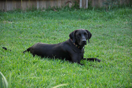 A Black Labrador laying in the green grass