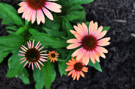 pink and orange gerber daisies in a garden Stock Photo