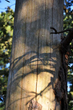 A bare pine tree trunk with branch shadows in the sunlight Stock Photo