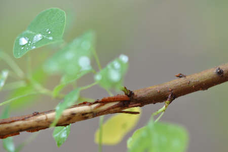 macro of a brown tree branch with a leaf with droplets of water on it
