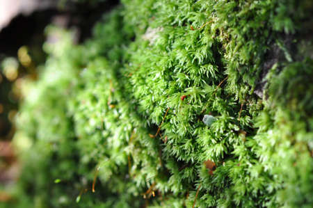 macro of green moss growing on a tree trunk in the forest