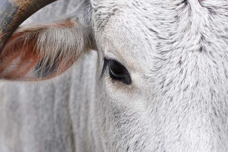 Macro of a white bovine face
