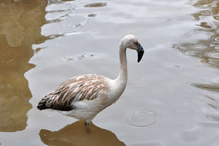 A single juvenile flamingo in the water
