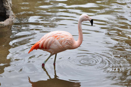 A single pink flamingo in the water Stock Photo