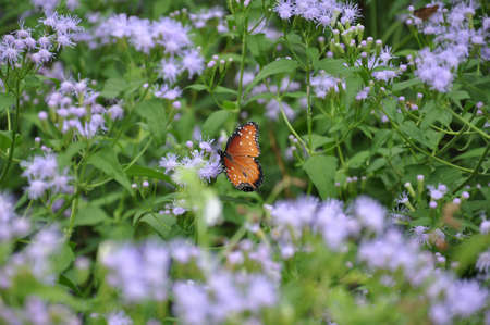 A single orange and black Soldier butterfly (Danaus eresimus) eating nectar from a group of purple wildflowers in a garden photo