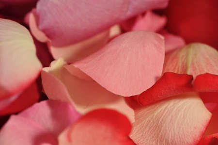 closeup of Pink, Red, White rose petals background